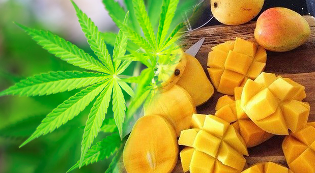Marijuana-Smokers-Are-Running-to-the-Produce-Department-for-Mangoes